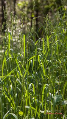 2/2 Graminées. Forêt de Migelan, espace naturel sensible, Martillac / Saucats / la Brède. Vendredi 22 mai 2020. Photographie : Christian Coulais