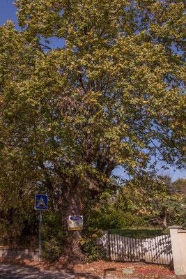 Vieux chêne en bordure de l'avenue de Bordeaux, Cénac, Gironde. 16/10/2017