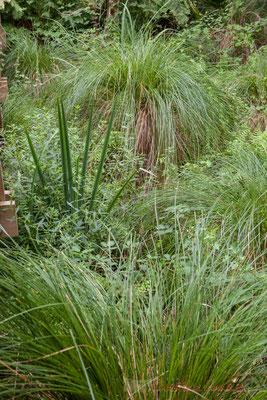 Carex. Des plantes étonnantes, colorées, carnivores, petites ou immenses...un jardin sauvage luxuriant. Lagune de Contaut, Hourtin