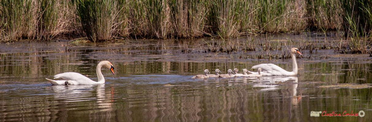 Les six cygneaux et leurs parents. Parcours de découverte de la roselière de l'Île Nouvelle, Gironde. 06/05/2018