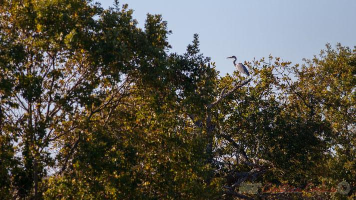Héron cendré perché à la cime de l'arbre. Domaine de Graveyron, Audenge, espace naturel sensible de Gironde