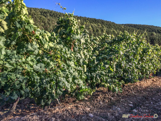 Cereales, viñedos y molinos de viento, entre Ujué y San Martín de Unx, Navarra / Céréales, vignes et éoliennes, entre Ujué et San Martin de Unx (objectif 4,15mm)