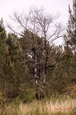 3/3 Tronc sombre de jeune chêne. Forêt de Migelan, espace naturel sensible, Martillac / Saucats / la Brède. Samedi 23 mai 2020. Photographie : Christian Coulais