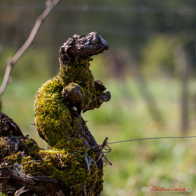 "Wouaf, wouaf"". Vitis vinifera Land Art"
