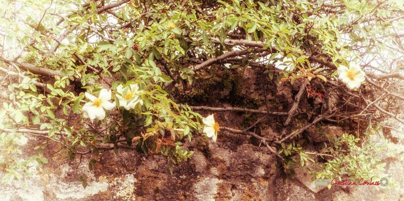 Et l'églantine du ménestrel sera fanée, que fleurira toujours la giroflée, chaque printemps... (Aloysius Bertrand, Gaspard de la nuit, 1842) Cité médiévale de Saint-Macaire. 28/09/2019. Photographie © Christian Coulais
