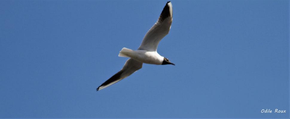 Mouette rieuse. Réserve ornithologique du Teich. Photographie Odile Roux. Samedi 16 mars 2019