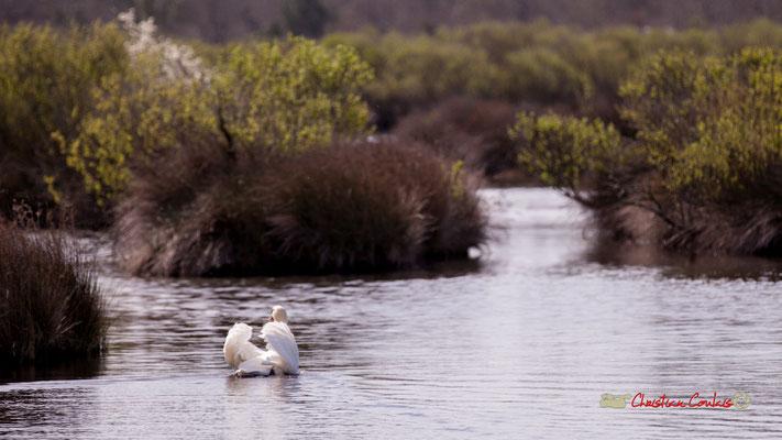 Cygne tuberculé. Réserve ornithologique du Teich. Samedi 16 mars 2019. Photographie © Christian Coulais