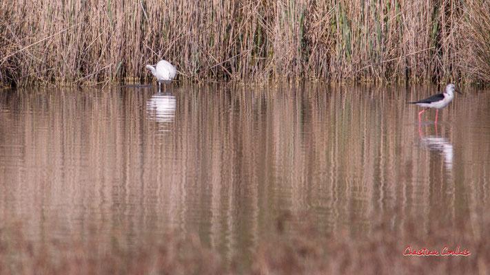 Aigrette garzette et échasse blanche. Réserve ornithologique du Teich. Samedi 3 avril 2021. Photographie © Christian Coulais