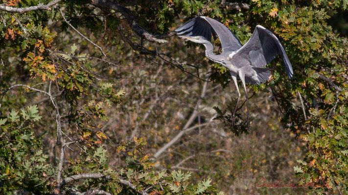 Pose d'un héron cendré dans un chêne (détail). Domaine de Graveyron, Audenge, espace naturel sensible de Gironde