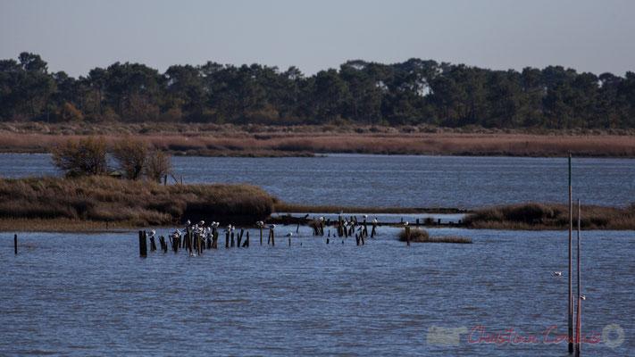 Sur les piquets, les oiseaux se reposent. Domaine de Graveyron, Audenge, espace naturel sensible de Gironde