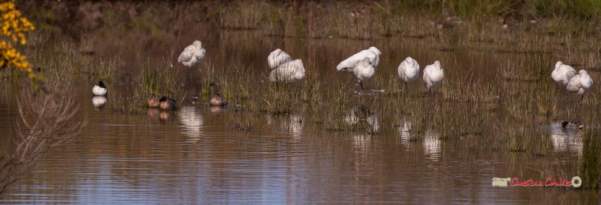 Colonie d'aigrettes gazettes. Réserve ornithologique du Teich. Samedi 16 mars 2019