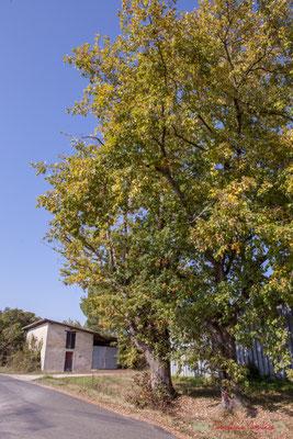 En bordure de l'avenue de Lignan, trois chênes doivent être coupés, pour la sécurité des automobilistes. Cénac, Gironde. 16/10/2017