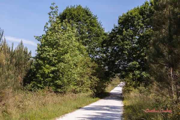Allée engravée et chênes rouge d'Amérique (Quercus rubra). Forêt de Migelan, espace naturel sensible, Martillac / Saucats / la Brède. Vendredi 22 mai 2020. Photographie : Christian Coulais