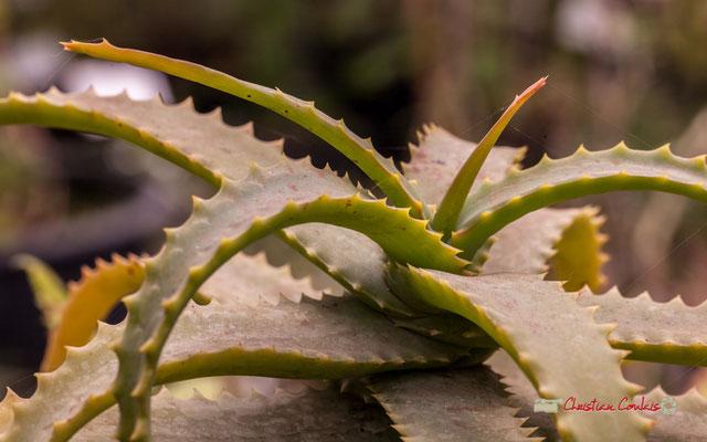 Corne de bélier. Afrique du Sud. Genre : Aloe; Espèce : Arborescens; Famille : Aloaceae; Ordre : Liliales. Serre tropicale du Bourgailh, Pessac. 27 mai 2019