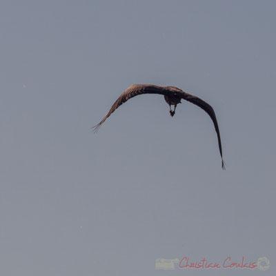 Vol de héron cendré. Domaine de Graveyron, Audenge, espace naturel sensible de Gironde