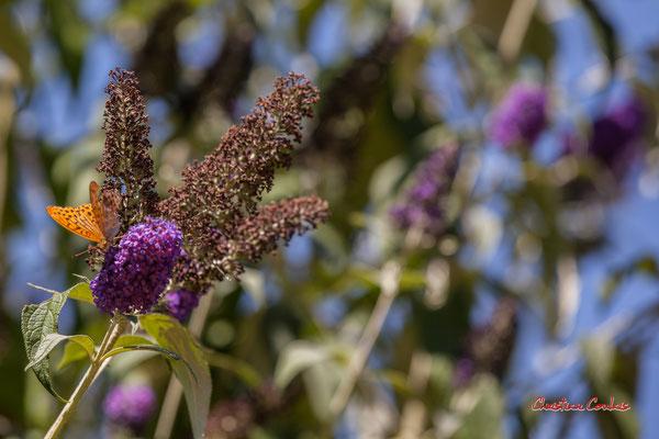 Arbre à papillons, Buddleja ou Buddleia. Domaine de Chaumont-sur-Loire, Loir-et-Cher, Région Centre-Val-de-Loire. Lundi 13 juillet 2020. Photographie © Christian Coulais
