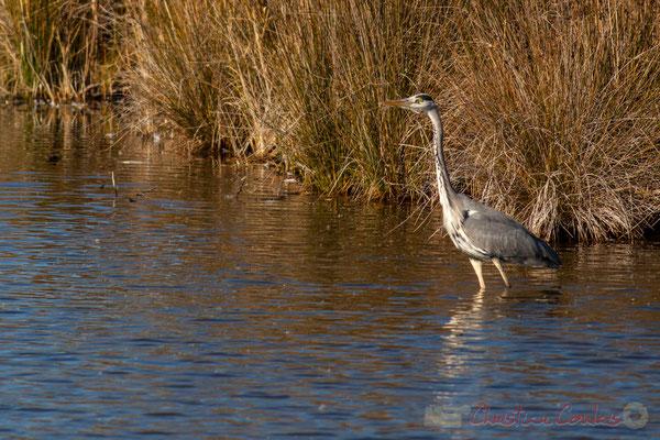 Héron cendré dans un réservoir du Domaine de Graveyron, Audenge, espace naturel sensible de Gironde