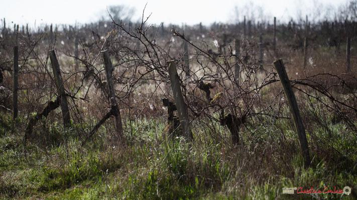 """""""AOC déclassée"""". Vitis vinifera Land Art"""