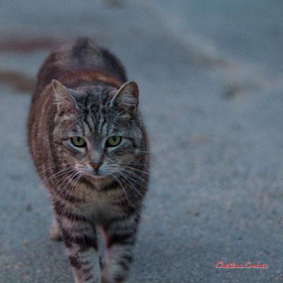 3/3 Chat domestique (Felis silvestris catus) Cénac. Mardi 7 avril 2020. Photographie : Christian Coulais