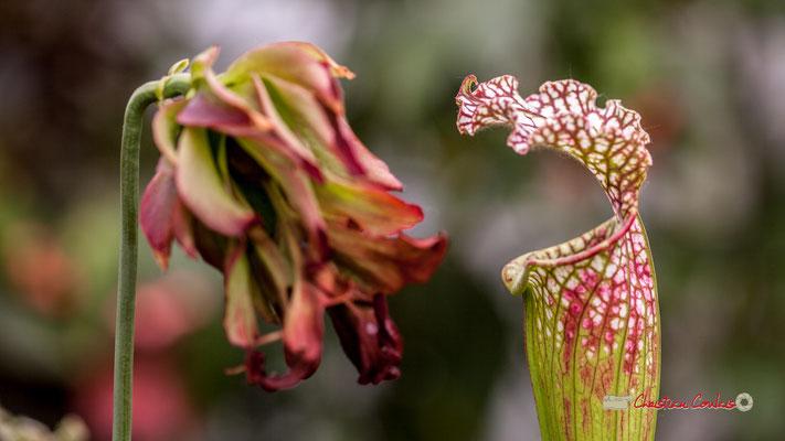 "Genre : Sarracenia; Espèce : Leucophylla ""Tarnock""; Famille : Sarraceniaceae; Ordre : Nepenthales. Serre tropicale du Bourgailh, Pessac. 27 mai 2019"
