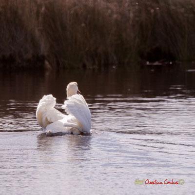 Cygne. Réserve ornithologique du Teich. Samedi 16 mars 2019