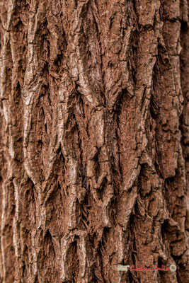 Australie. Genre : Melaleuca; Espèce : Bracteata; Famille : Myrtaceae; Ordre : Myrtales. Serre tropicale du Bourgailh, Pessac. 27 mai 2019