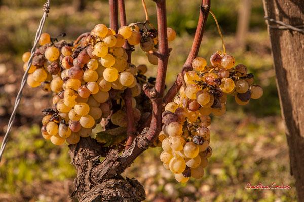Vignoble du Château d'Yquem, Sauternes. Samedi 10 octobre 2020. Photographie © Christian Coulais