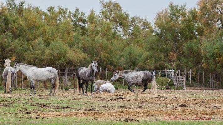 Traditionnellement élevé en semi-liberté dans des manades, le cheval Camargues est la monture exclusive des gardians qui l'utilisent pour le travail du bétail et de nombreuses fêtes populaires. Réserve naturelle régionale de Scamandre, Vauvert