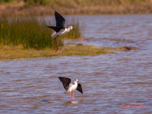 Amérissage d'échasses blanches, réserve ornithologique du Teich. Samedi 3 avril 2021. Photographie © Christian Coulais