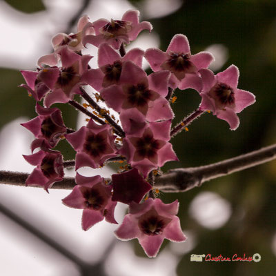 Malaisie, Australie, Inde. Genre : Hoya; Espèce : Carnosa; Famille : Apocynaceae; Ordre : Gentianales. Serre tropicale du Bourgailh, Pessac. 27 mai 2019