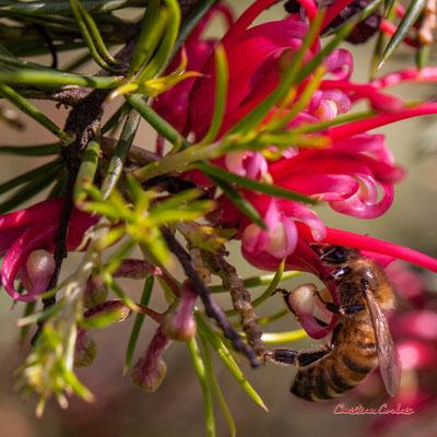 Grevillea juniperina et abeille. Samedi 21 mars 2020