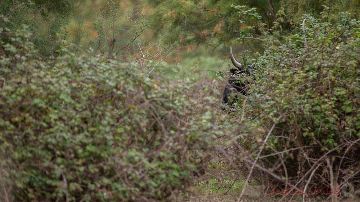 Cache-cache taureau ! Réserve naturelle régionale de Scamandre, Vauvert