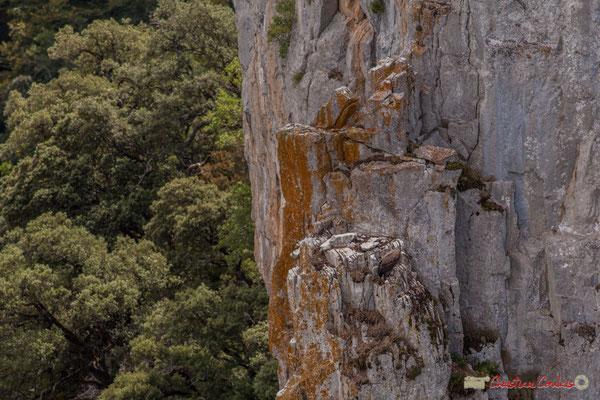 Vautour fauve posé sur le rocher /  Buitre leonado en la roca, Foz de Arbaiun, Navarra