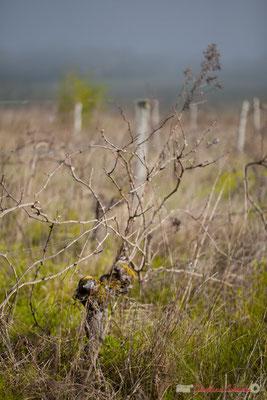 """Abandon de poste 1"". Vitis vinifera Land Art"