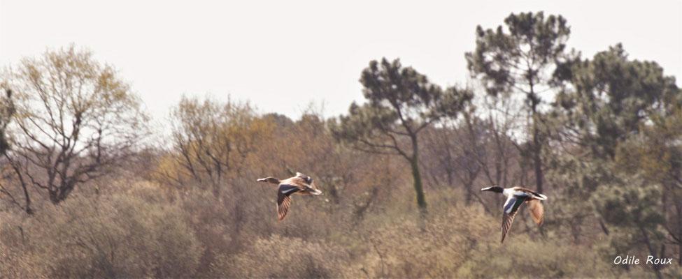 Vol d'un couple de canards colvert. Réserve ornithologique du Teich. Photographie Odile Roux. Samedi 16 mars 2019