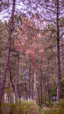 Maladie des bandes rouges  ? Baisse de l'activité photosynthétique, coloration en jaune, puis en rouge, des aiguilles de pins malades suivie de leur brunissement, et de leur chute non physiologique. 23/05/2020. Photographie : Christian Coulais
