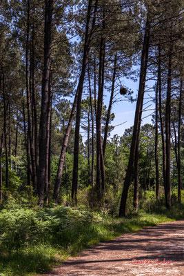 Qu'est-ce donc cette boule ronde au milieu des pins ? Forêt de Migelan, espace naturel sensible, Martillac / Saucats / la Brède. Vendredi 22 mai 2020. Photographie : Christian Coulais