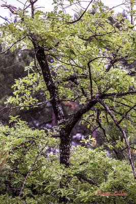 1/3 Tronc sombre de jeune chêne. Forêt de Migelan, espace naturel sensible, Martillac / Saucats / la Brède. Samedi 23 mai 2020. Photographie : Christian Coulais