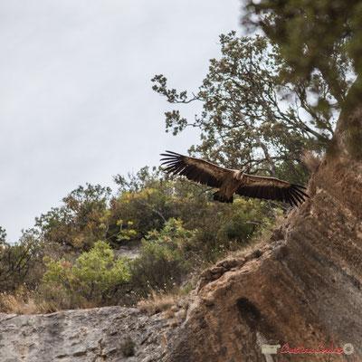Vautour fauve, gorges de Lumbier, Navarre / Buitre leonado, Foz de Lumbier, Navarra