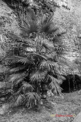 Palmier en pied de rempart. Cité médiévale de Saint-Macaire. 28/09/2019. Photographie © Christian Coulais