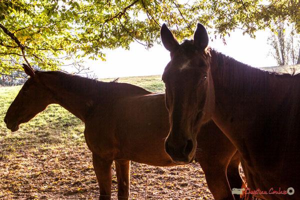 Deux chevaux sur le chemin de randonnée, entre Mons et la Piste cyclable Roger Lapébie. Lignan-de-Bordeaux, 17/10/2017