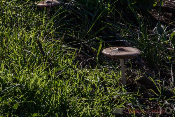 Lépiote gracile, ordre des agaricales. Domaine de Graveyron, Audenge
