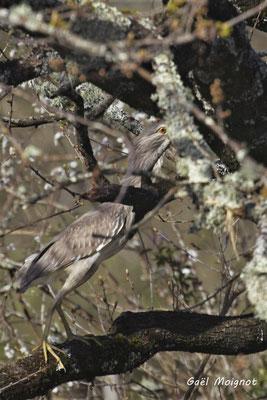 Bihoreau gris. Réserve ornithologique du Teich. Photographie Gaël Moignot. Samedi 16 mars 2019