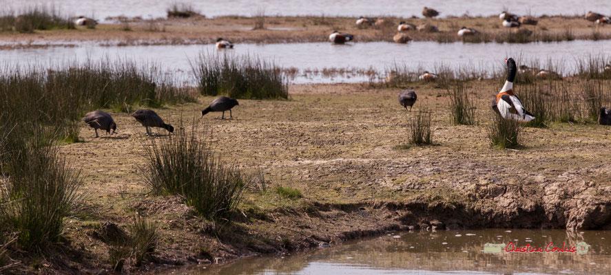 Tadorne de Belon. Réserve ornithologique du Teich. Samedi 16 mars 2019