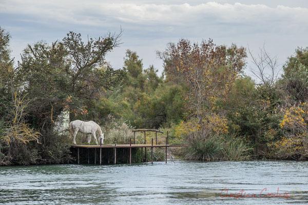 Passage des bateaux devant une manade, avec ici un cheval de Camargue sur un ponton, rive gauche du Petit Rhône.