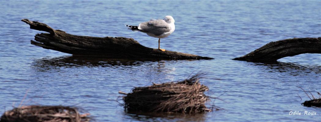 Mouette tridactyle. Réserve ornithologique du Teich. Photographie Odile Roux. Samedi 16 mars 2019