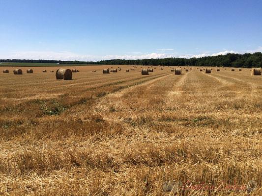 Plaine céréalière du Haut-Poitou, champ de céréales, blé, après moissons, Brux, Vienne