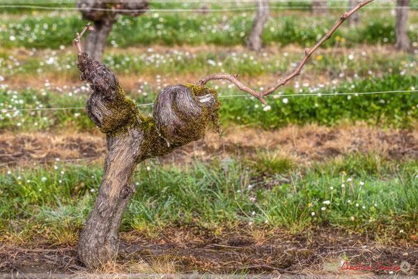 """Vieux cep 3"". Vitis vinifera Land Art"