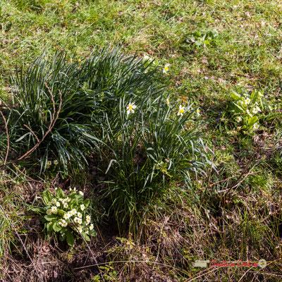 Primevères et jonquilles, réserve ornithologique du Teich. Samedi 16 mars 2019