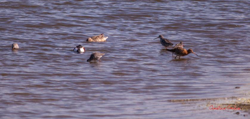 Tadornes de Belon et barges à queue noire. Réserve ornithologique du Teich. Samedi 3 avril 2021. Photographie © Christian Coulais